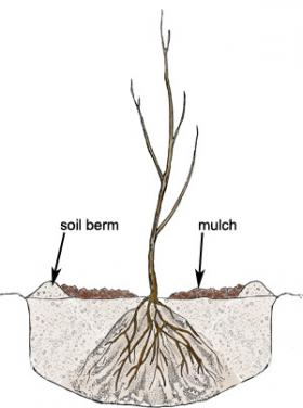 Planted-bare-root-tree_0.jpg